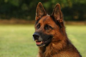 german-shepherd-photo-200008.jpeg