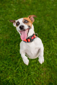 Excited-Jack-Russell