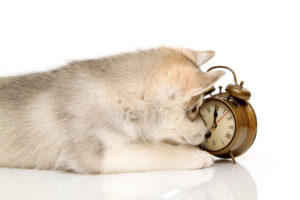 husky-puppy-with-clock